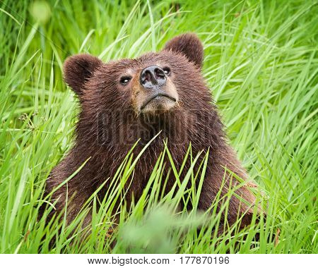 Grizzly bear cub sitting in the long grass in the wild sniffing the air