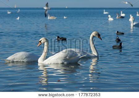 Birds Coot or flatted (lat. Fulica atra) and silver gull (lat. Larus argentatus) and mute Swan (lat. Olor Cygnus) wintering in the Black sea city of Anapa in Krasnodar region. The blue expanse of water