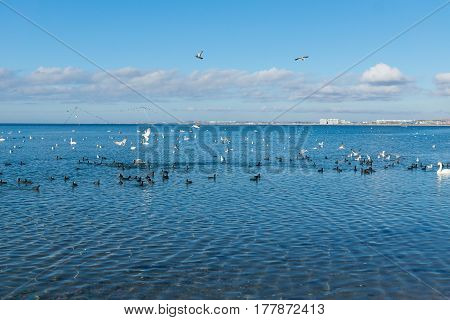 A flock of birds Coots or flats (lat. Fulica atra) and silver gull (lat. Larus argentatus) and mute Swan (lat. Olor Cygnus) wintering in the Black sea city of Anapa in Krasnodar Krai