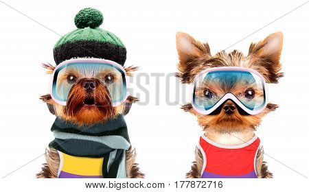 Funny dogs wearing hat and scarf. Winter skiing concept