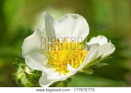 Flower of strawberries pineapple or Strawberries or large Strawberries (lat. Fragaria