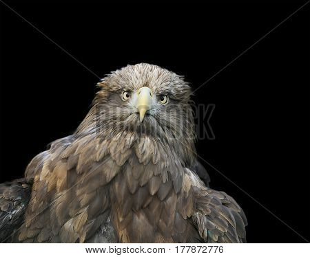 funny portrait of a large brown bird of an eagle face on black isolated background