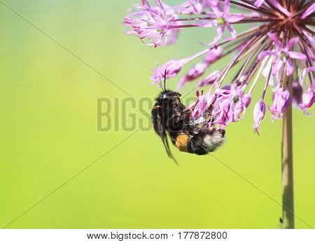 black hairy bumblebee collects nectar from the flowers on the summer meadow