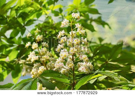 Flowering of horse chestnut or gaudnik or esculus (lat. Aesculus) is a genus of plants of the family Spindulys (Sapindaceae) a species commonly bred in parks.
