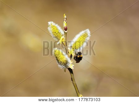 bumblebee sitting on a bright yellow buds of willow in early spring