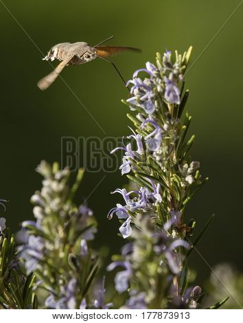 Hawk moth macroglossa stallatarum sucking nectar from rosemary flowers
