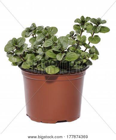 Bush of orange mint in a pot on a white background
