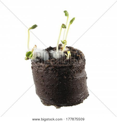 Radish seedlings in clod of soil isolated on white background