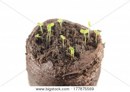 Three-day snapdragon seedlings with two green cotyledon leaves isolated on white background