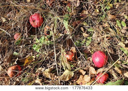 Photo of fallen red apples ripe and rotten lying in dry grass