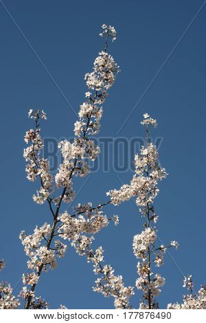 Flowers of japanese cherry tree in full bloom
