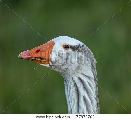 Domestic Greylag Goose (Anser anser) eating grass.