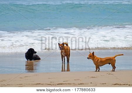 Three dogs in the resort of a sandy beach resting in the waves of the ocean.