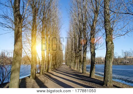 Road and row of poplar trees in a spring park on a sunny day.