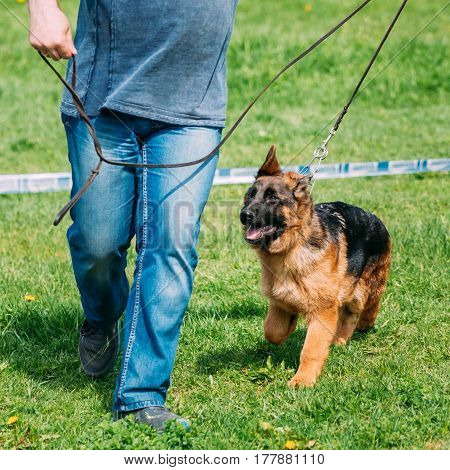 Beautiful Small Young Black German Shepherd Puppy Dog Walking On Green Grass With Owner. Alsatian Wolf Dog Or German Shepherd Dog Play Outdoor. Deutscher Dog.