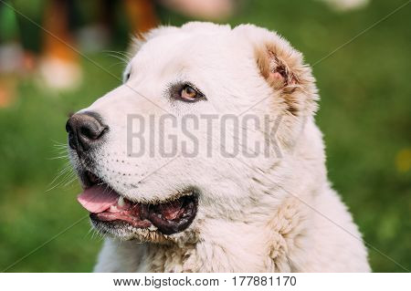 Close Up Potrait Of Central Asian Shepherd Dog. Alabai - An Ancient Breed From The Regions Of Central Asia. Used As Shepherds, As Well As To Protect And For Guard Duty