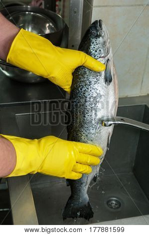 Hands in gloves washing and cleaning salmon fish at the kitchen sink