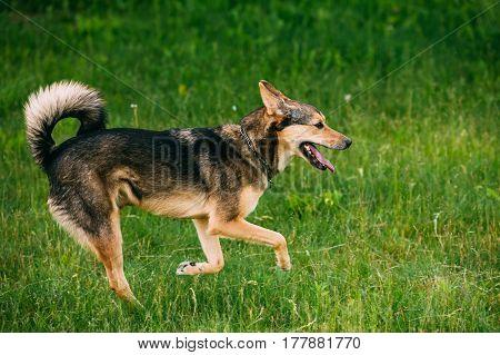 Mixed Breed Medium Size Three Legged Dog Play Outdoor In Summer Grass. Running Happy Dog