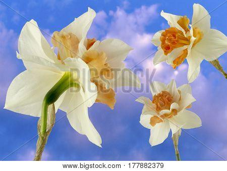 Three daffodils on a blue cloudy sky background