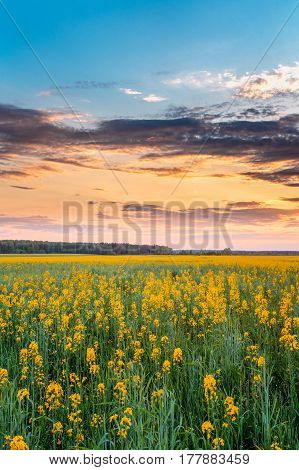 Sunset Sunrise Sky Over Horizon Of Spring Flowering Canola, Rapeseed, Oilseed Field Meadow Grass. Blossom Of Canola Yellow Flowers Under Dramatic Dawn Sky
