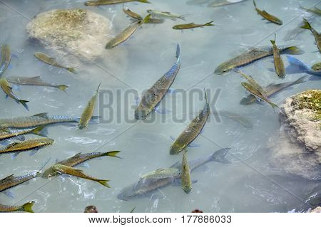 A flock of fish in a mountain river between stones