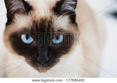 Grey Siamese cat with blue eyes close-up. Cat's face. The cat sits on the couch