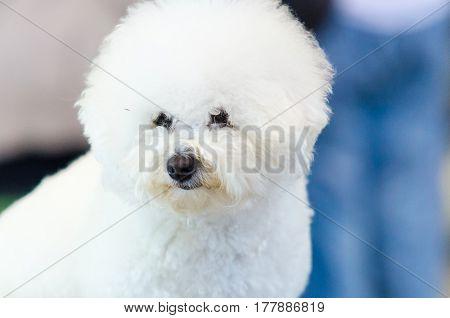 Purebred white Bichon Frise dog. Cute dog