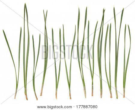 Pine needles isolated on white background