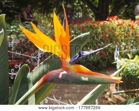 the blossoming tropical plant a royal strelitzia