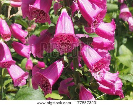 the blossoming plant of Digitalis purple of family the podorozhnikovykh