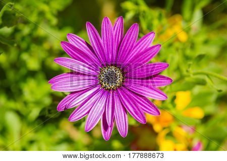 Purple flower of a Cape marguerite, also called Dimorphotheca ecklonis