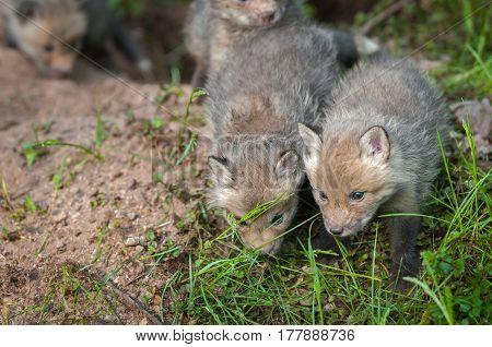 Red Fox Kits (Vulpes vulpes) Walk Forward - captive animals
