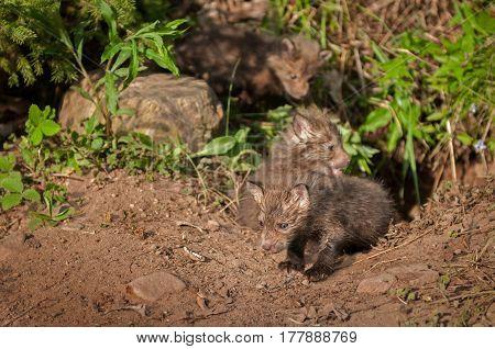 Red Fox Kits (Vulpes vulpes) Creep out of Den - captive animals