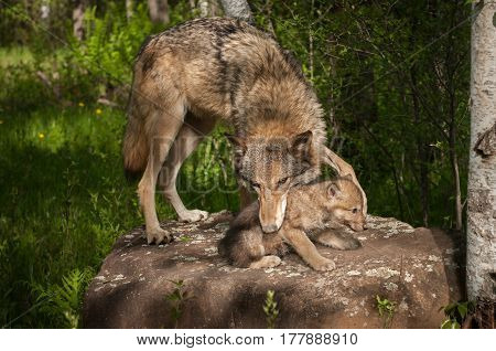 Grey Wolf (Canis lupus) Mouth on Pup - captive animals