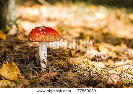 Amanita on the background of dry grass and conifers. Autumn landscape. Washed background.