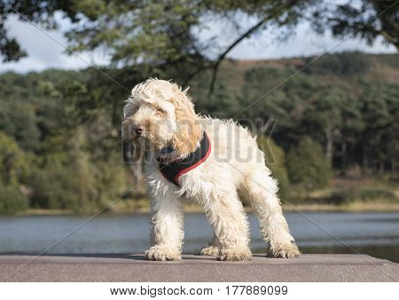 Portrait image of a cute white cockapoo dog standing on a picnic table