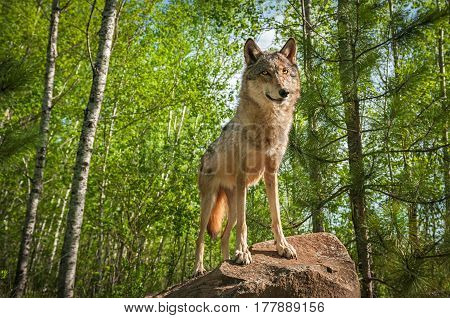 Grey Wolf (Canis lupus) Stands on Rock - captive animal