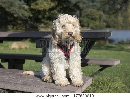 Portrait image of a cute white cockapoo dog sitting on a picnic table