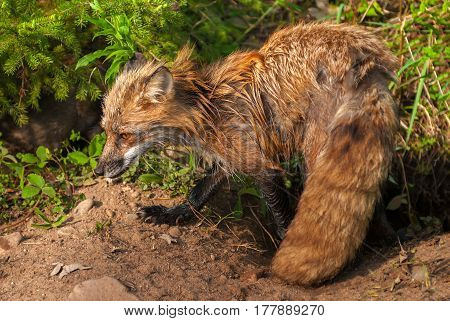 Wet Red Fox Vixen (Vulpes vulpes) - captive animal