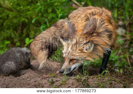 Red Fox Vixen (Vulpes vulpes) Turns with Kit - captive animals