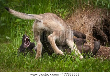 Grey Wolf (Canis lupus) Pup Pins Sibling - captive animals