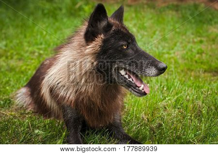 Black Phase Grey Wolf (Canis lupus) Lies in Grass Looking Right - captive animal