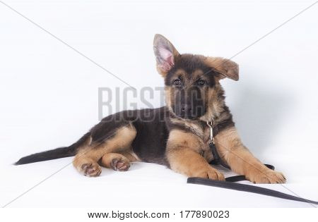 Image of a young German shepherd puppy. Taken on a white background.