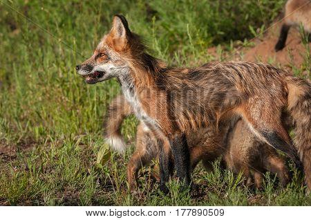 Red Fox Vixen (Vulpes vulpes) Stands Facing Left - captive animal