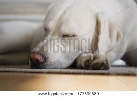 tired sleeping labrador retriever dog puppy with cute nose