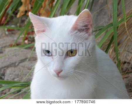 White cat with heterochromia different colored eyes