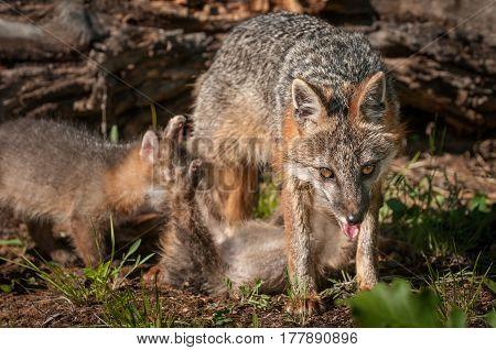 Grey Fox Vixen (Urocyon cinereoargenteus) Looks Out as Kit Feeds - captive animals