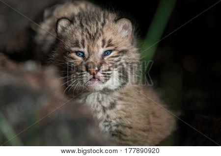 Bobcat Kitten (Lynx rufus) Close Up Alone in Log - captive animal