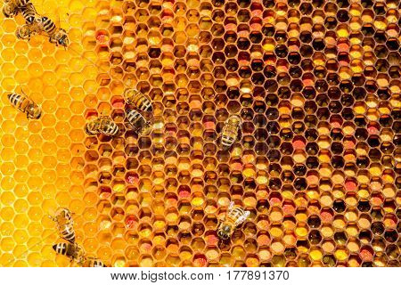 closeup of bees on honeycomb in apiary - selective focus copy space
