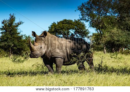 White Rhino Bull grazing and staring into the distance